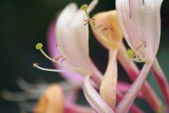Flor da madressilva, dof raso, (periclymenum Serotina do Lonicera) Fotografia de Stock