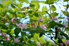 Flor da madressilva Flores e botões cor-de-rosa bonitos Fotografia de Stock Royalty Free