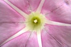 Flor da madressilva no macro imagens de stock royalty free