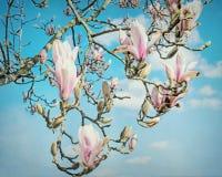 Flor da magnólia Fotos de Stock Royalty Free