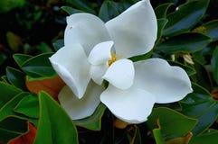 Flor da magnólia Imagem de Stock