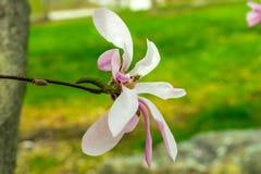 Flor da magnólia foto de stock