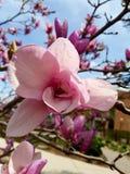 Flor da magnólia Imagens de Stock