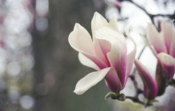 Flor da magnólia com gotas da chuva Foto de Stock Royalty Free