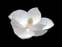 Flor da magnólia com vaga-lume Imagem de Stock
