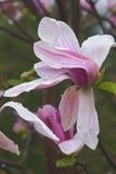 Flor da magnólia da aurora Foto de Stock Royalty Free