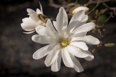 Flor da magnólia de estrela no fundo escuro Imagens de Stock