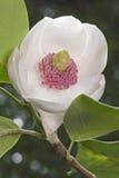 Flor da magnólia de Oyama do colosso Fotos de Stock