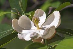 Flor da magnólia de Sweetbay Imagens de Stock