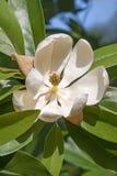 Flor da magnólia de Sweetbay Fotografia de Stock