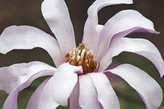 Flor da magnólia do loebner de Leonard Messel Fotos de Stock