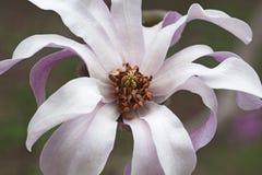 Flor da magnólia do loebner de Leonard Messel Foto de Stock