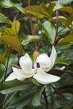Flor da magnólia do sul Imagem de Stock