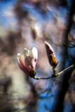 Flor da magnólia - fundo obscuro Imagem de Stock