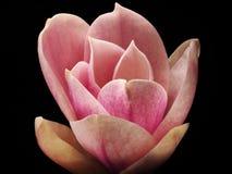 Flor da magnólia no rosa Imagem de Stock Royalty Free