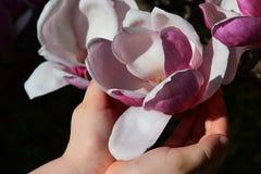 A flor da magnólia Soulangeana realizou nas mãos como um cálice, fundo escuro da menina Imagem de Stock Royalty Free