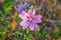 Flor da malva comum Imagens de Stock Royalty Free