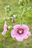 Flor da malva rosa. Imagem de Stock