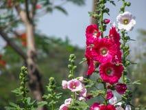 Flor da malva rosa fotografia de stock