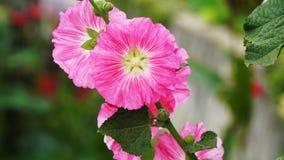 A flor da malva rosa lá é close up cor-de-rosa do fundo do borrão foto de stock royalty free