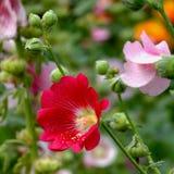 Flor da malva rosa na natureza Imagens de Stock