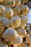 Flor da mandioca com fulgor do por do sol Foto de Stock