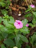 Flor da manhã foto de stock