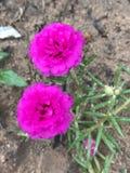 Flor da manhã Fotos de Stock Royalty Free