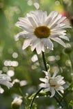 Flor da margarida Imagem de Stock