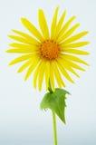 Flor da margarida Fotos de Stock