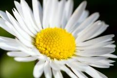 Flor da margarida Imagens de Stock