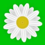 Flor da margarida ilustração do vetor