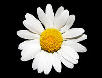 Flor da margarida branca Imagens de Stock Royalty Free