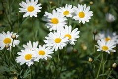Flor da margarida branca com luz solar Fotos de Stock Royalty Free