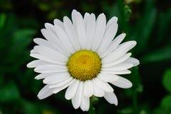 Flor da margarida branca de Margarita na mola fotografia de stock