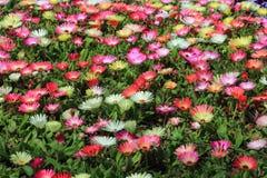 Flor da margarida de Livingstone no jardim Foto de Stock Royalty Free