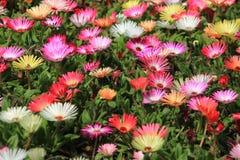 Flor da margarida de Livingstone no jardim Fotos de Stock Royalty Free