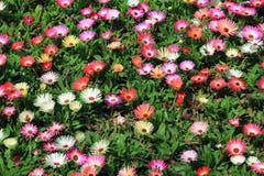 Flor da margarida de Livingstone no jardim Foto de Stock