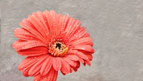 Flor da margarida de Transvaal imagem de stock