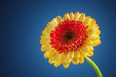 Flor da margarida do Gerbera no fundo azul foto de stock