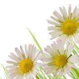 Flor da margarida, estação de mola do projeto floral foto de stock royalty free