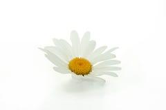 Flor da margarida isolada Imagens de Stock Royalty Free