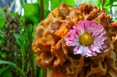 Flor da margarida no tampão do Morel fotos de stock royalty free