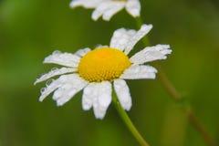 Flor da margarida sob a chuva Fotos de Stock Royalty Free