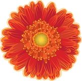 Flor da margarida vermelha e alaranjada Fotografia de Stock Royalty Free