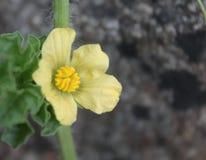 Flor da melancia Foto de Stock