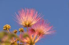 Flor da mimosa Foto de Stock