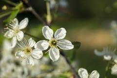 Flor da mola às cerejas no jardim Imagens de Stock Royalty Free