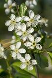 Flor da mola às cerejas no jardim Imagens de Stock