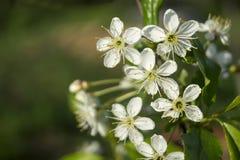 Flor da mola às cerejas no jardim Fotos de Stock